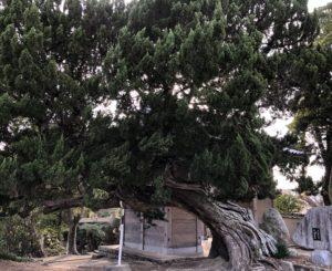 門をくぐってすぐ右の巨木